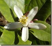 lemon flower november_1_2_1
