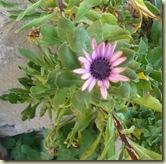doorstep plant_1