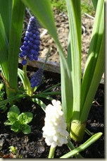 grape hyacinth2_1_1_1