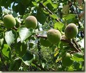 apricots may 1_1_1