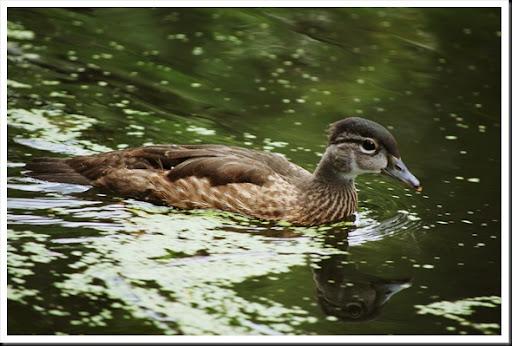 Wood Duck Juv