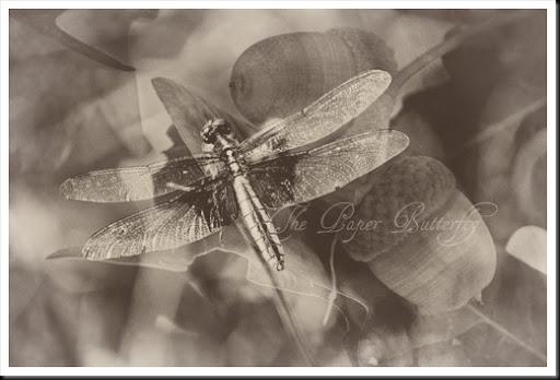 Dragonfly Acorn Old  46 WM