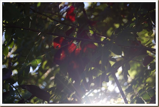 Sunlight and red leaves