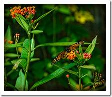DSC_0013-monarch-on-flower