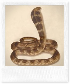 king-cobras21