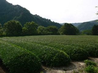 下流から天端レベルへの階段の途中に見える茶畑
