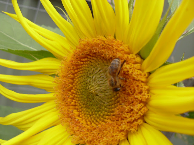 sunflower with a bee