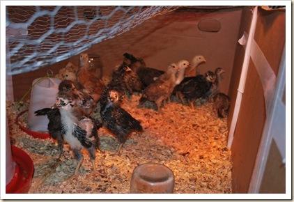 march 3011 farm life 009