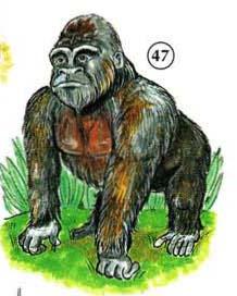 47. gorila