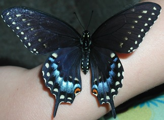 butterfly from martha