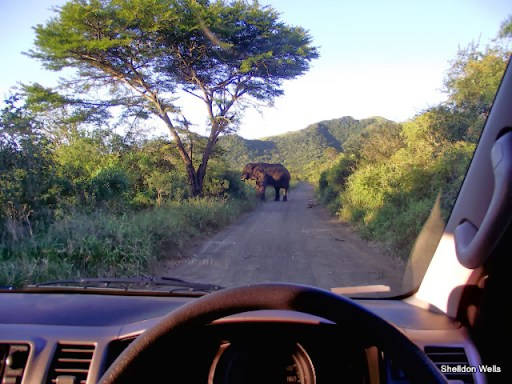 elephant blocking the road at the hluhluwe imfolozi game reserve
