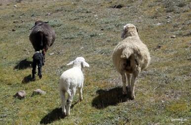 While sheep seem a little bit shy