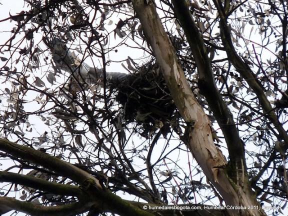 Gavilán bailarín (Elanus leucurus) batiendo sus alas cerca al nido
