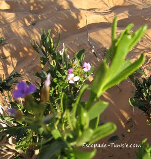 tunisie la vie en vert : fleurs du sahara tunisien