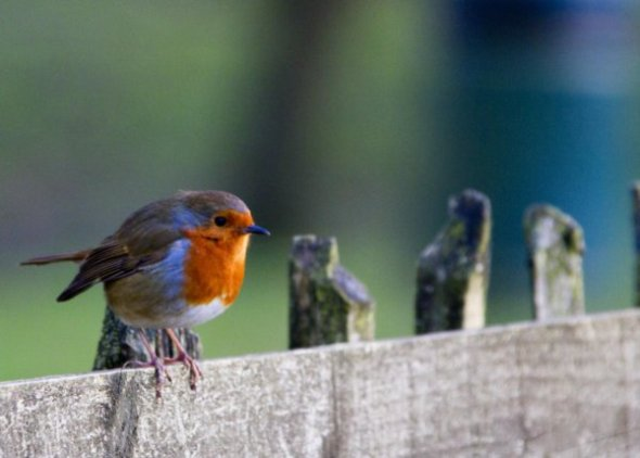 A robin perched on a fence at Peatlands Park
