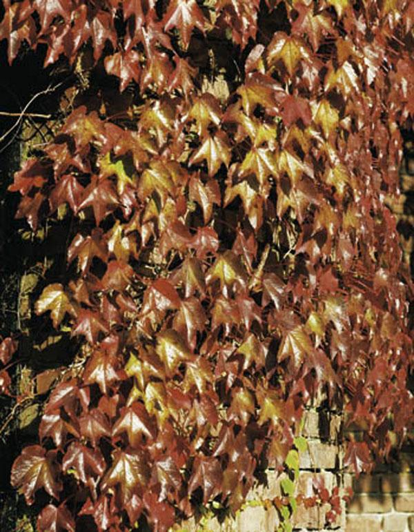 Decorar con plantas trepadoras
