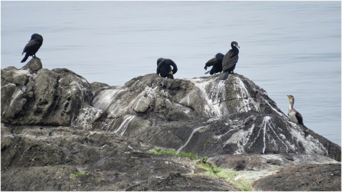 Cormorants near Ahtopol