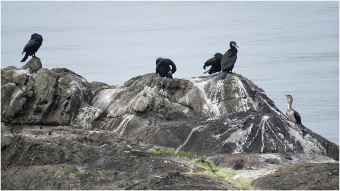 Cormorants near Ahtopol