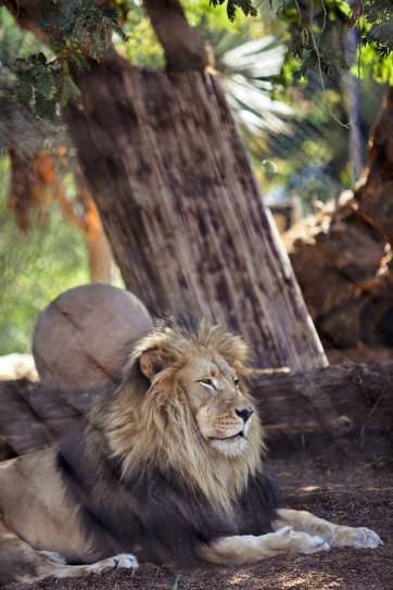 Lion at the San Diego Zoo.