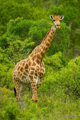 giraffe at hluhluwe imfolozi game reserve
