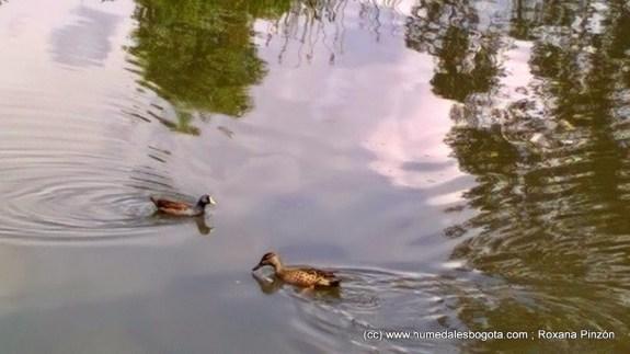 Tingua pico verde y pato canadiense