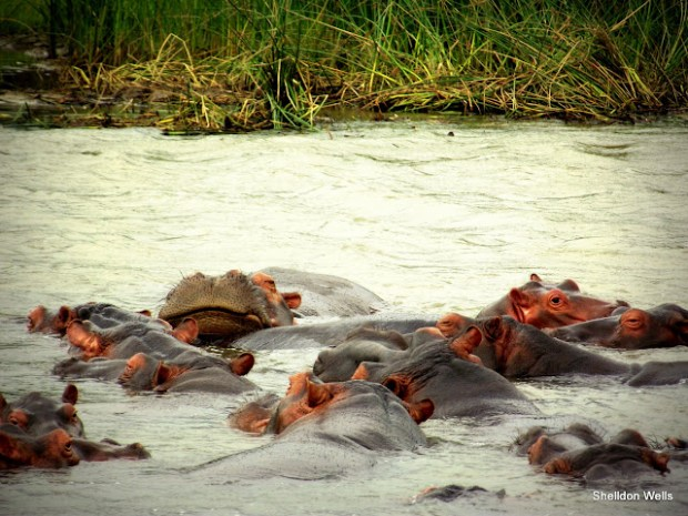 A Raft of Hippo