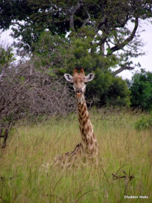 giraffe chewing the cud in the midday sun