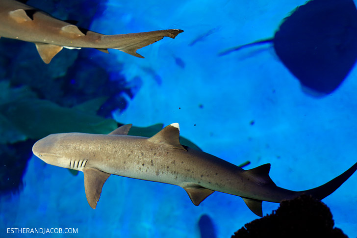 White tip shark feeding at the Mandalay Bay Shark Reef Aquarium.