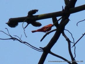 Tangara veranera macho (Piranga rubra)
