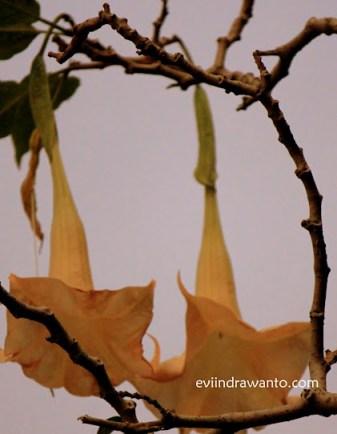 Bunga lonceng kuning