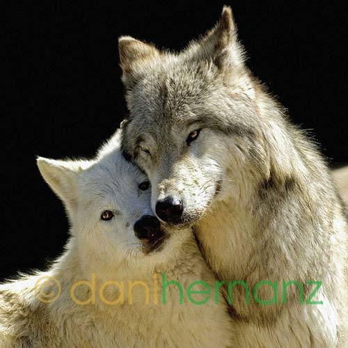 Animales cariñosos: Lobos