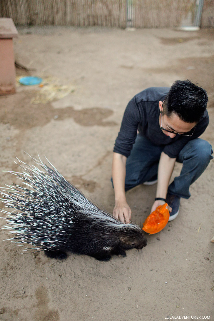 African Brush-tailed Porcupine.