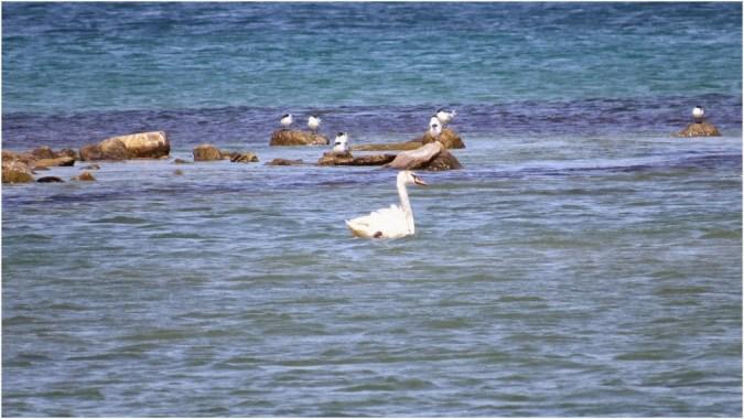 Swan swimming around