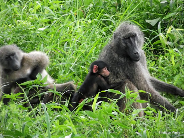 chacma baboon at the hluhluwe imfolozi game reserve