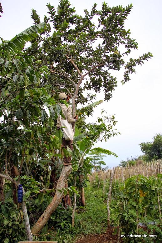 Foto memetik buah jambu