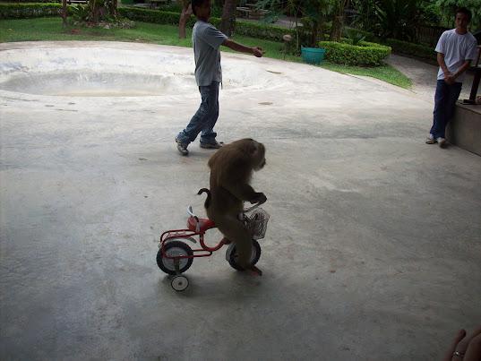 Monkey on a trike
