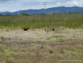Perros ferales en el Humedal Tibanica
