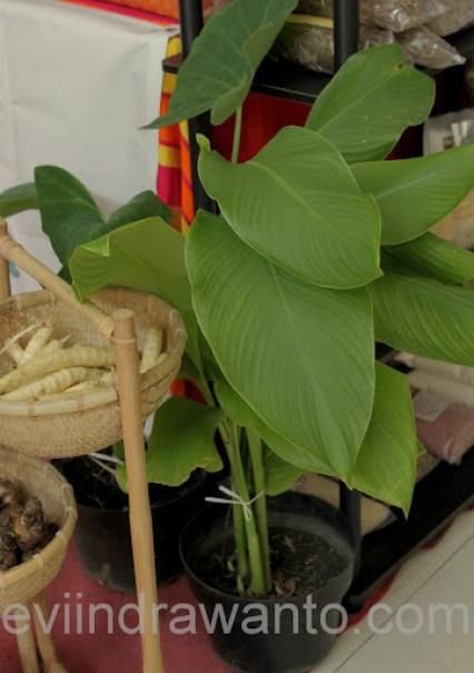 manfaat tanaman garut