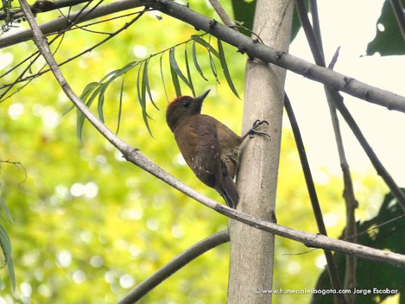 Carpintero pardo (Veniliornis fumigatus)