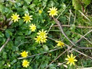 Lesser Celandines in Dovedale