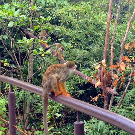 Squirrel Monkey Forest