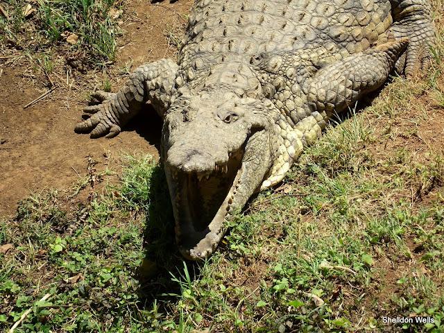 Nile Crocodile at PheZulu Safari park