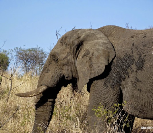 Bull elephant at hluhluwe imfolozi game reserve