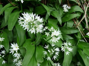 Wild Garlic or Ransoms. David decided to eat some ... mmm!!