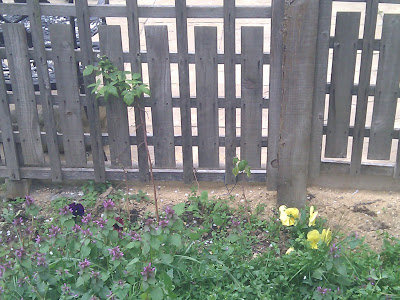 Winter pansies and raspberries against a wooden fence