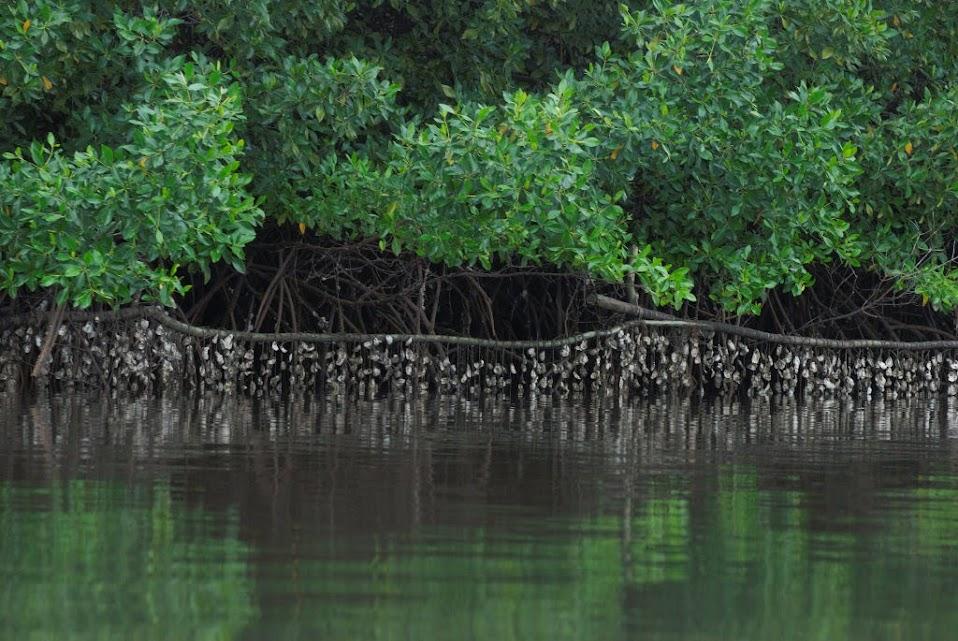 Bateas de Ostras colgadas de las ramas de los Manglares.
