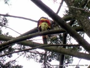 Tucán (Pteroglossus castanotis)