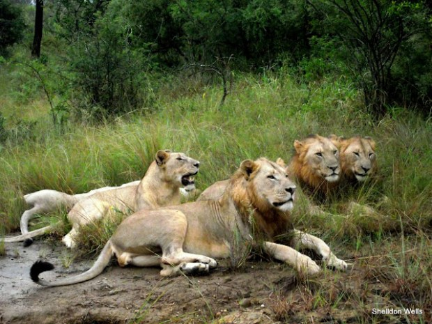 Lion Pride at Hluhluwe Imfolozi Game Reserve