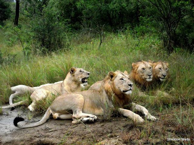 Lion Pride at Hluhluwe Imfolozi Game Reserve