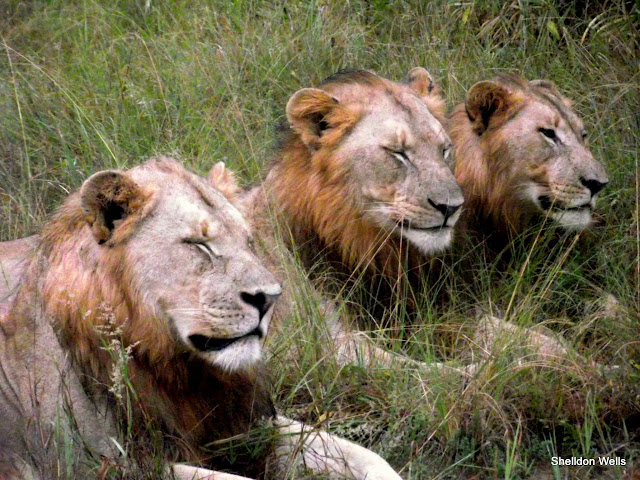 3 Lion Lying in the Grass